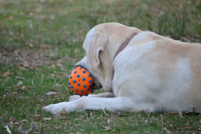 Un perro jugando con la pelota