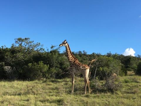 jirafa mirandl a traves de la vegetacion